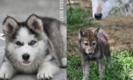Щенки собаки и волка