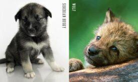 Щенки собаки и волка (меньше)