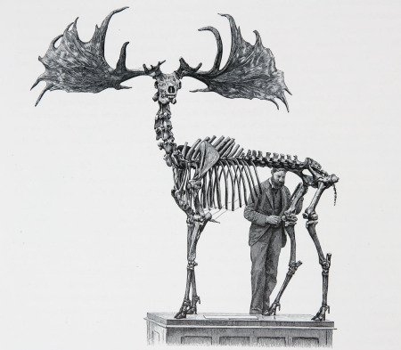 THE IRISH ELK. Megaloceros Giganteus