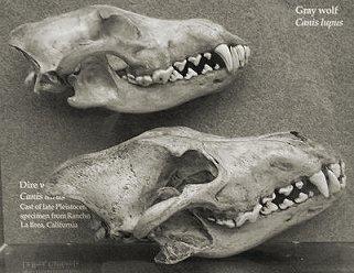 Сравнение черепов лютоволка (внизу) и серого волка (вверху)