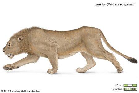 Пещерный лев (Panthera leo spelaea), илл. из энциклопедии Encyclopædia Britannica, Inc.