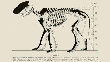 Скелет волка и силуэт скелета лютоволка, табличка из музея в Лос-Анджелесе