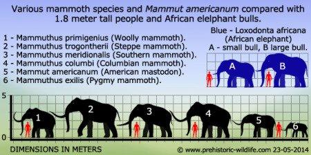 На данной схеме под цифрой 2 — трогонтериевый мамонт, а под 3 и 4 — американские «теплолюбивые» мамонты. Африканский слон — вверху справа, синенький (А, В). Взято с сайта prehistoric-wildlife.com